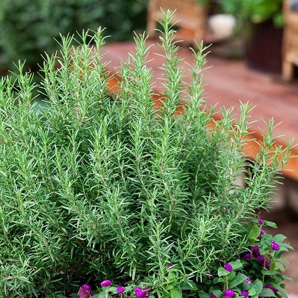must-have-herbs-to-plant-in-your-indoor-garden