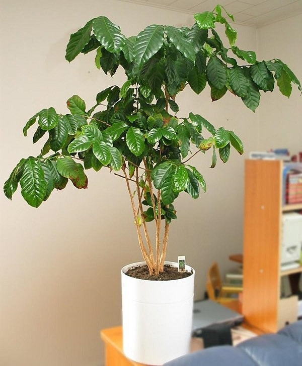 aromatic-indoor-plants-that-purify-air-naturally