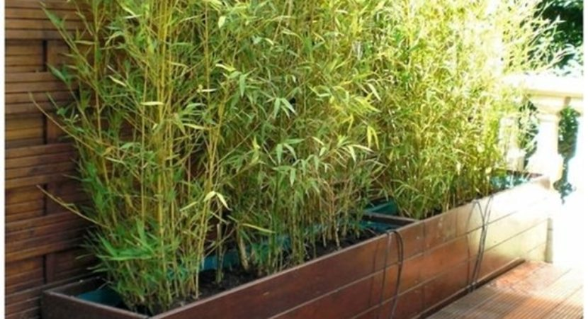 learn-how-to-plant-a-bamboo-fence-planning-planting-and-maintaining