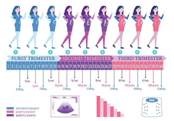 All About Second Trimester of Pregnancy - Week 14 to Week 27